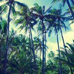 Coconut Palm trees in Hawaii, Kauai, USA (instagramm effect)